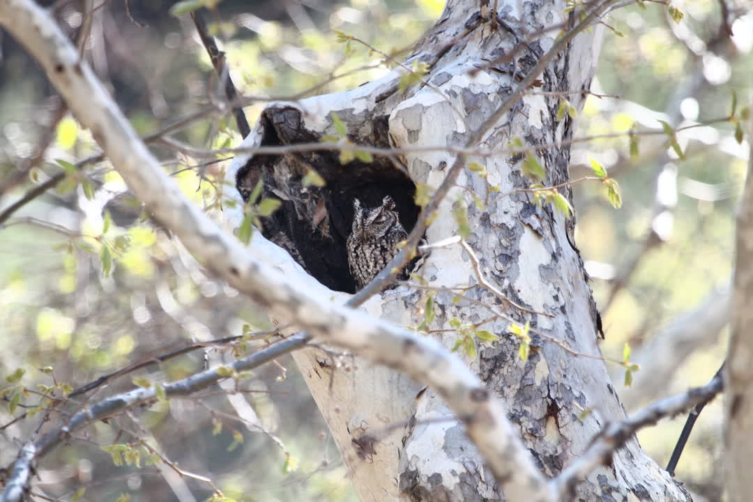 IMG_8968whiskeredscreech-owl_rescaled