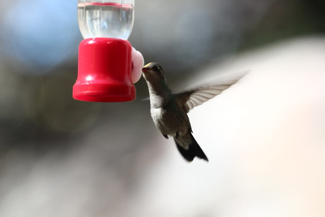 IMG_8757broad-billedhummingbird.JPG_rescaled
