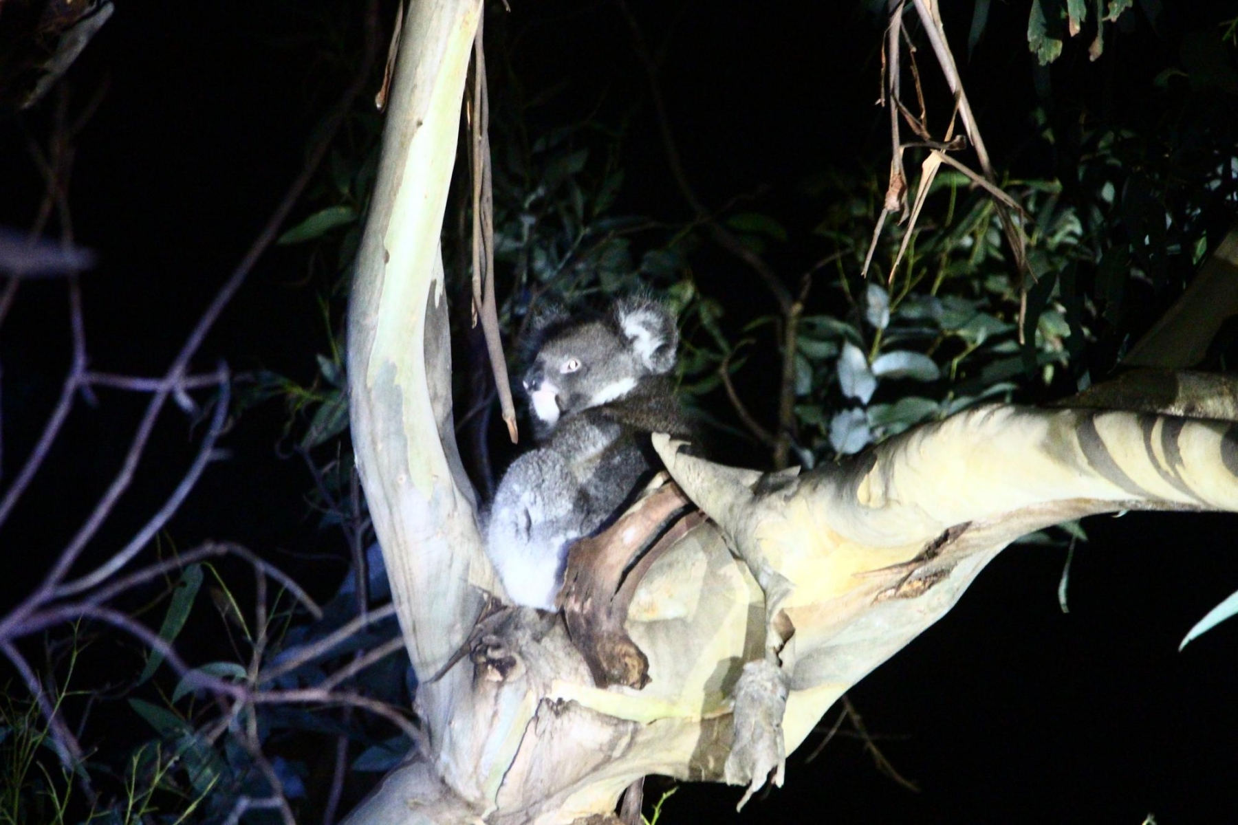 A koala is spotted on its way back from the pub.