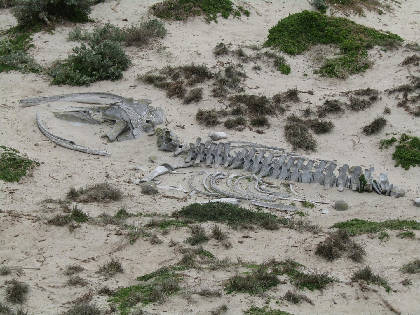 Skeleton of a juvenile humpback whale washed up in a storm long ago
